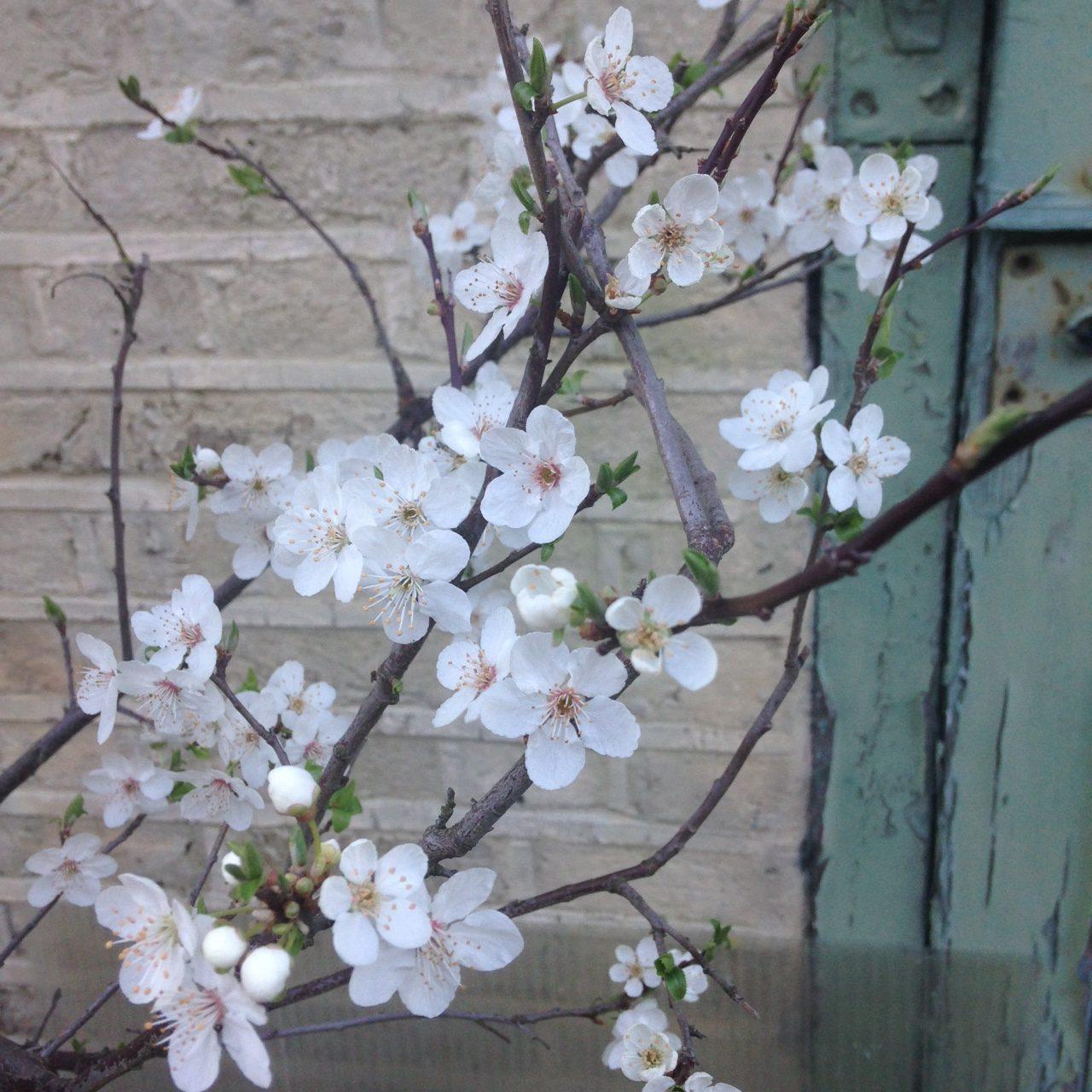 Plum blossom in front of peeling green door